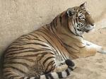 Forschergruppe-Zoo-Tiger-2013
