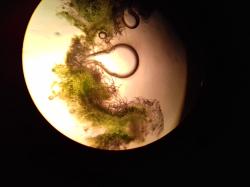 Planzenteile unter dem Mikroskop